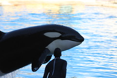 IMG_6826 (Bebelouga) Tags: orque marineland killerwhale orca