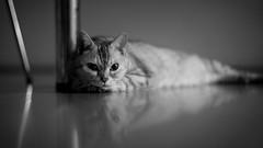 On the floor (h329) Tags: 75mm f14 floor summilux cat bw leica mmonochrom246
