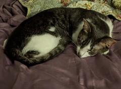 2016- Violet 10 (teresamarkos) Tags: cat cats kitten kittens felines feline