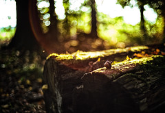 The creation of a thousand forests is in one acorn. (mr_kuchen) Tags: acorn forest nature outdoor tree bokeh wood lensflare eichel wald natur baum baumstamm leica autumn herbst fall