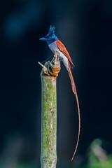 Asian paradise flycatcher ( male ) (Emu Alim) Tags: afsnikkor600mmf4efledvr afsteleconvertertc14eii gitzo nikond500 wh200wimberleyheadversioni wh200wimberleyheadversionii