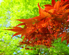 Japanese Maple (Acer palmatum) (FieldandGardenBlog) Tags: acerpalmatum asian brown cultivated flowering foliage garden japanesemaple leaves maple orange oriental ornamental red reddish shrub spring tree zen