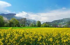 spring (welenna) Tags: switzerland schwitzerland sky spring rhaps fog flowers fruhling feld berge blue blumen blhen blooming view landscape light clouds cloud