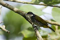 Scaly-breasted Bulbul (christopheradler) Tags: malaysia scalybreasted bulbul pycnonotus squamatus scalybreastedbulbul pycnonotussquamatus