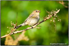 Yellow Rumped Warbler feeding (RKop) Tags: armlederpark cincinnati ohio raphaelkopanphotography a77mk2 70400gssmsony sony warblers warbler