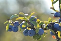Autumn is here (dfromonteil) Tags: fruits berries blue bleu vert green macro bokeh nature light sunlight lumire