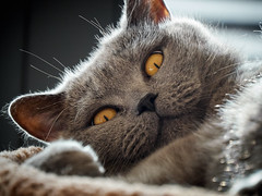 Conner - good morning (michaelbeyer_hh) Tags: cat britishshorthair penf