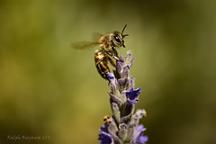 lavender-bee (slivvtheshiv) Tags: bee lavender insect flowers honey nature purple wings spring pollen