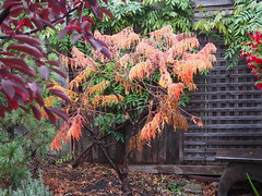 Autumn Garden 2 (JP Newell) Tags: cutleaf sumac autumn garden