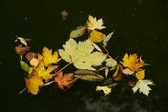 Inge Hoogendoorn (ingehoogendoorn) Tags: herfst autumn autumnleaf autumnleafs water stilleven stillife yellow geel