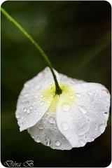 Flower to the people! (Dóra B.) Tags: summer flower iceland day sommer blomster akureyri sumer sæt blóm lítil dorabirgis