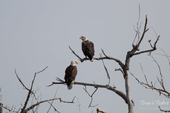 A pair of bald eagles rests along the South Platte River.