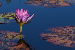 Purple Water Lily (Matt Thalman - Valley Man Photography) Tags: plant water pond colorado waterlily purple denver lilypads denverbotanicgardens