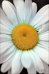 PETALES ET COULEURS (Gilles Poyet photographies) Tags: fleur marguerite soe auvergne puydedme autofocus royat aplusphoto parcbargoin artofimages rememberthatmomentlevel1
