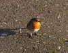 Robin (Seymour1966) Tags: robin naturereserve coventry a45 brandonmarsh