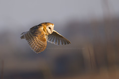 Barn Owl (iesphotography) Tags: nature animal canon wildlife flight barnowl birdofprey 1dx shortearredowl canon1dx