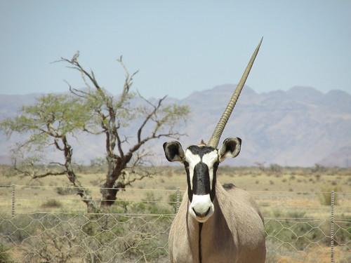 Une licorne - oryx - Namibie