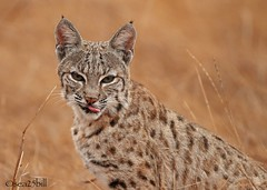 BOBCAT (sea25bill) Tags: california morning sun nature animal cat wildlife bobcat carnivore lynxrufus