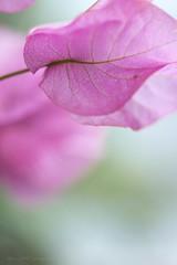 Bougainvillea (kenta_sawada6469) Tags: pink flowers plants plant flower color macro green nature colors japan garden bougainvillea greenhouse