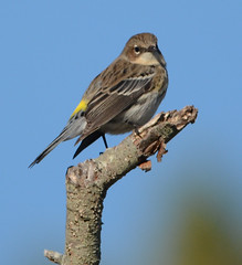 "Yellow rumped warbler • <a style=""font-size:0.8em;"" href=""http://www.flickr.com/photos/75865141@N03/16170063586/"" target=""_blank"">View on Flickr</a>"
