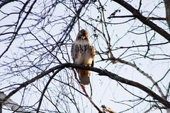 Red-Tailed Hawk (Rick J. Baker) Tags: lyndeshores whitby redtailedhawk hawk birdofprey ontariobird raptor ontarioraptor