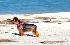 End of her rope (I'magrandma) Tags: dog florida rope collar dogbeach clearwater honeymoonisland october2014