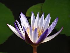 purple and blue (oneroadlucky) Tags: plant flower nature purple