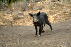 Wildschwein (Ralf Walther) Tags: wild nature andaluca spain wildlife cadiz wildboar parquedelosalcornocales suscrofa