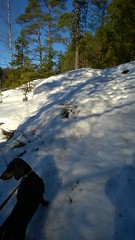 WP_20150210_12_23_03_Pro (verbeek_dennis) Tags: winter snow finland nokia dachshund tax kaapo dashond mäyräkoira такса gravhund jazvečík gåsgårdsträsket lumia830 táksa