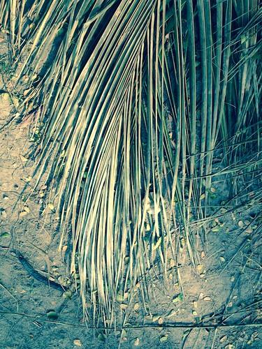 dead palm leaf