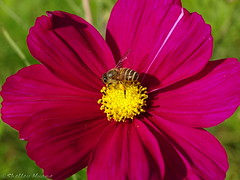 Cosmos Bipinnatus with bee (Shelley Huang) Tags: flowers greenleaves flower nature sunshine insect riverside bee cosmos redflower   cosmosbipinnatus