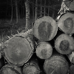 _1010019.jpg (Alan Frost LRPS) Tags: wood blackandwhite monochrome sussex countryside timber bark trunks westdeanestate