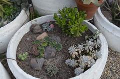 Crassulaceae (montegon) Tags: sedum crassula sempervivum graptopetalum paraguayense ovata suaveolens cooperi tectorum rupestris adromischus morgansbeauty