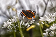 Spring is almost here (Theophilos) Tags: flower nature butterfly spring crete rethymno