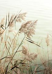 meciéndose (Marián ;)) Tags: nature rio plantas cañas espigas plumeros