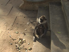Baby and Mother Langur On Steps to Temple