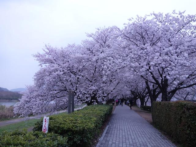 20140405 淀川河川公園背割堤