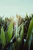 Sustainability (mripp) Tags: sustainable sustainability nachhaltig rohstoffe energy energie pflanzen wachsen agriculture landwirtschaft farming farm bauer dauern fuji xpro2 35mm f14 bavaria bayern mais corn hochwasser sun sunny sonnenenergie carbondioxid co2 kohlenstoffdioxid klimawandel climatechange uv photosynthese biogas energiepflanzen