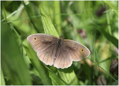 Meadow Brown (jenny*jones) Tags: summer macro canon butterfly meadow lepidoptera meadowbrown 1666 nymphalidae maniolajurtina satyrinae canon100mm28 brushfootedbutterfly july2016