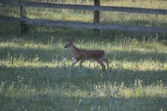 IMG_9113 (thinktank8326) Tags: nature wildlife deer spots fawn whitetaileddeer babyanimal