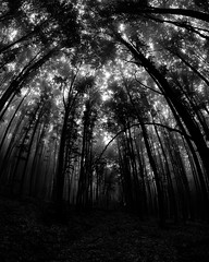 Enchanted forest (meleshko.alex) Tags: europe ukraine borjava carpathians carpathian mountains mountain forest bw black white blackwhite fog gloomy clouds fujifilm fuji xt1 8mm fisheye samyang samyang8mm rokinon8mm rokinon