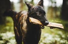 IMG_4174 (jabberjinx) Tags: dog dogs canon shepherd canine hh brindle dutchshepherd dogphotos hollandse dutchie paimenkoira hollandseherder canoneos7d canon7d hollanninpaimenkoira holsku