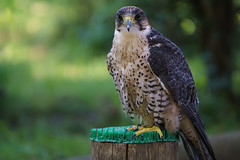 Falke (hawk) (matthias.foto) Tags: park trip light wild color cute green bird art nature beautiful beauty animal animals germany deutschland photography zoo photo europe photos sweet bokeh outdoor hawk wildlife portait sony natur falcon grn alpha 6000 tier vogel falke 2016 schn greifvogel ilce ss tambach mirrorless a6000 fe702004