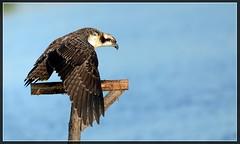 """I fledged...I'm all grown up"" ...Juvenile Osprey (Christine Fusco ~ ""Jersey Strong"") Tags: juvenileosprey wing marsh osprey"