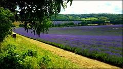 Lavender (will668) Tags: lavender castlefarmlavender lavenderfield lullingston eynsford kent fields nature purplefields