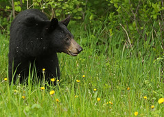 Black Bear...#7 (Guy Lichter Photography - Thank you for 2.9M views) Tags: bearblack canon 5d3 canada manitoba rmnp wildlife animals mammal mammals bear