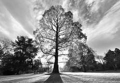 Golden hour tree (Yani Dubin) Tags: winter newzealand christchurch blackandwhite plant tree monochrome landscape gimp canterbury goldenhour multipleexposures exposureblending widelens christchurchbotanicgardens d7000 luminositymasks tokinaaf1228mmf4
