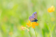 Der verletzte Flügel (Fotos4RR) Tags: bläuling schmetterling butterfly lycaenidae insekt insect wiese blumenwiese blume