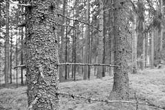 Norway and Sweden_089 (jjay69) Tags: camping outdoor camp hammock hammocks ddhammock frontline frontlinehammock mosquitonet mosynet green forest forrest trees woods woodland scandanavia bushcraft active activity activeholiday northerneurope blackandwhite bw blackwhite monochrome artistic nature landscape tree background wood sunlight natural sun sunny beautiful scene travel morning park sky hills wild summer misty pine environment scenic day plant shine mysterious spruce path haze view foliage sunshine wilderness coniferous rural valley leaf bright forestmountain beautifulforest treetrunks