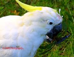 Sulphur-crested Cockatoo (Cacatua galerita) (paulberridge) Tags: sulphurcrested cockatoo cacatua galerita bird animal nature wildlife white yellow sydney australia